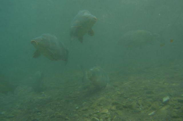 Karpfenrudel im Sundhäuser See
